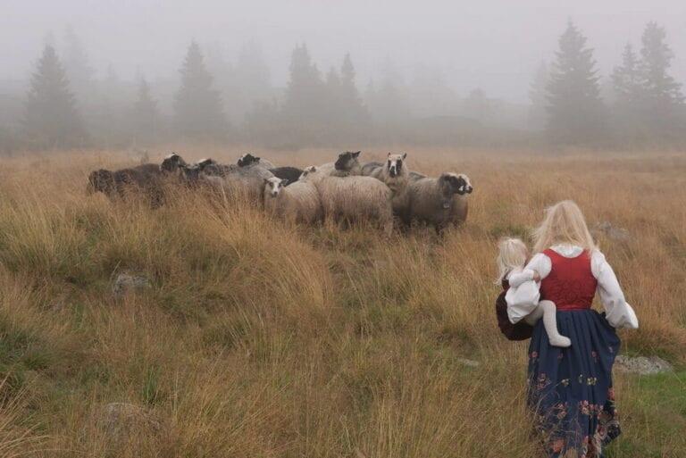Dame i bunad går på et jordet mot sauer